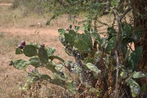 The invasive prickly pear being attacked by cochineal, a scale insect that has been introduced as a biocontrol agent.